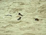Pardais tomando banho de areia