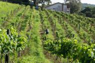 Parreirais da Vinícola Castanho apreciados de perto durante Tour do Vinho