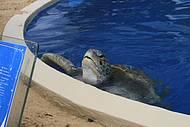Tartaruga marinha (Tat�) do Projeto Tamar, Praia do Forte, BA. Brasil.