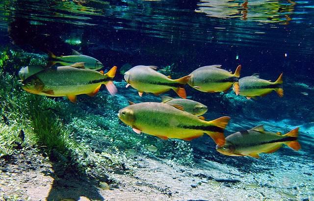 Piraputangas s�o avistadas com facilidade em meio �s aguas transparentes