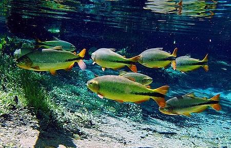 Rio Sucuri - Piraputangas são avistadas com facilidade em meio às aguas transparentes