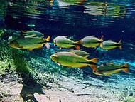 Piraputangas são avistadas com facilidade em meio às aguas transparentes