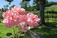 Rosas e parreirais