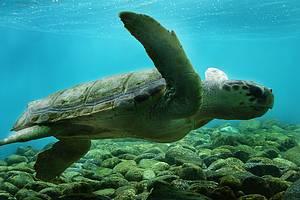 Ilha de Anchieta: Tartarugas marinhas estão entre as atrações -