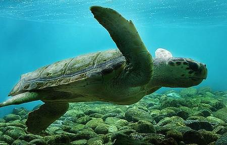 Ilha de Anchieta - Tartarugas marinhas estão entre as atrações