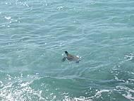 Visitante ilustre ... tartaruga marinha