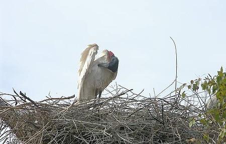 Ave Simbolo do Pantanal - Tuiuiú - Uma das mais belas aves