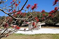 No Desert Park, o vermelho vivo das flores do Mulungú