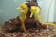 Cavalos marinhos do Projeto Hipocampus