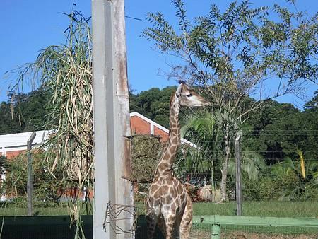 Zoológico de Pomerode - O olhar da girafa