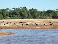 Andorinhas do rio Araguaia
