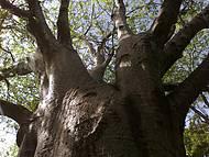 Baobá Majestoso