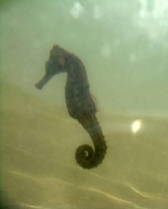 Cavalo-Marinho (foto subaquática)