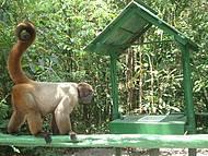 Macacos - livres de jaulas!