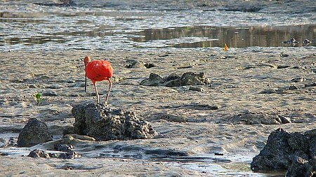 Pássaro Guará catando carangueijo na praia de Algodoal