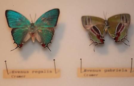Borboletas e Mariposas raras fazem parte do acervo deste Museu.