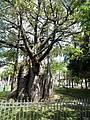 Baobá Histórico