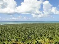 Vista da Praia do Gunga, lindo esse coqueiral