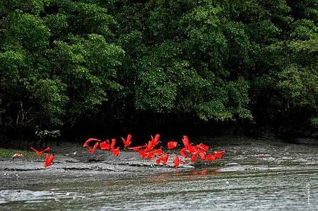 48 horas na Ilha de Marajó (PA) - Revoada de guarás é espetáculo diário