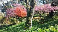 As cerejeiras s�o maravilhosas