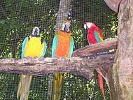 Tucano, Araras coloridas