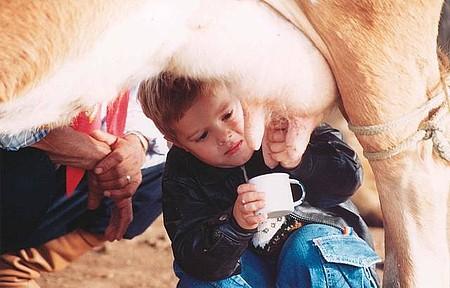 Direto da vaca - Crianças também participam da ordenha