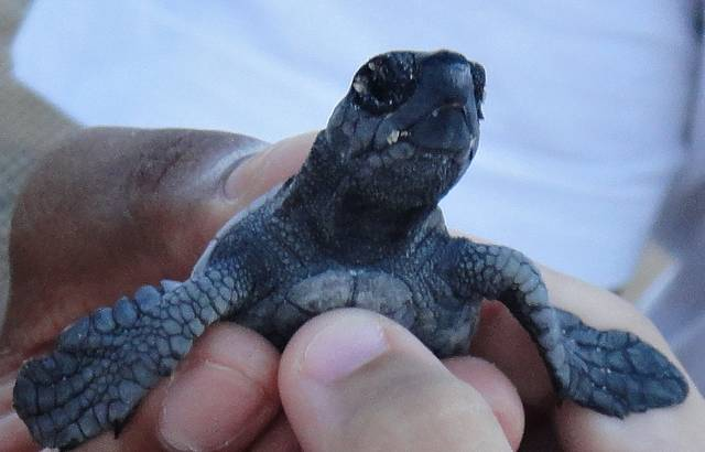 Beb� de tartaruga