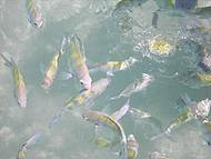 Peixinhos nas piscinas de Pajuçara
