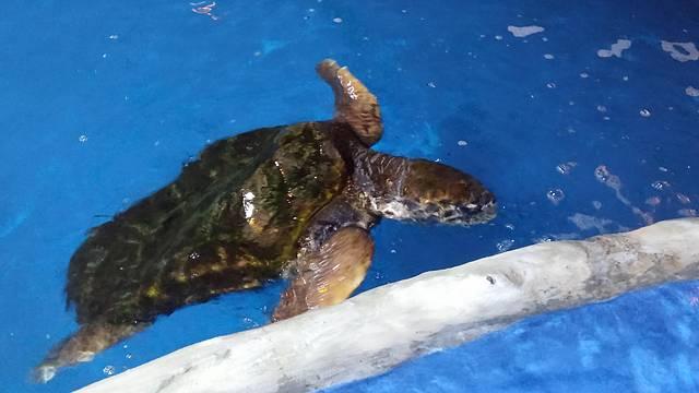 Tartaruga no oceanário