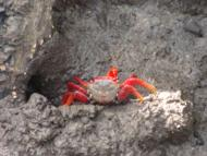 Close do caranguejo no mangue da ilha