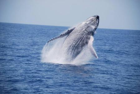 Observação de baleias jubarte - Jubarte são avistadas de julho a outubro