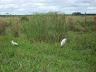tuiuiú, o símbolo do Pantanal