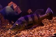 Tucunarés chamam a tenção nos aquários