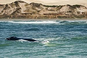 Observar as baleias francas