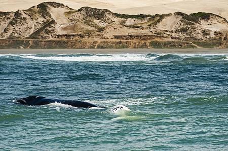Observar as baleias francas - Baleias marcam presença em Ribanceira