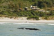 Baleias franca dão show na Praia do Rosa