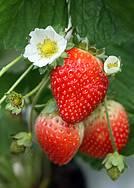 Festa do Morango: Fruta divide a cena com as flores produzidas na região -