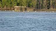 Garças Esperam a Maré Baixar para Pegar Peixes nos Currais