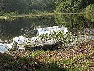 Jacarés estão sempre na beira das lagoas para tomar sol