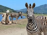 Zebras e camelos são observados de pertinho