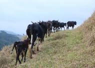 Entre as atrações, acompanhar vacas e bezerros!