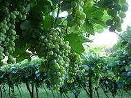 Belos vinhedos.