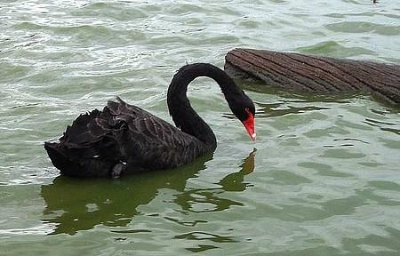 Pampa Safari - Cisne Negro