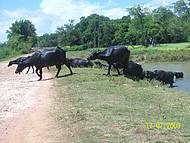 Búfalos Marajoaras. Legal de ver.