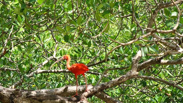 Pássaro Guará Fotografado no Passeio