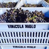 Uvas recém-colhidas na época da vindima