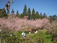 Festa da Cerejeira
