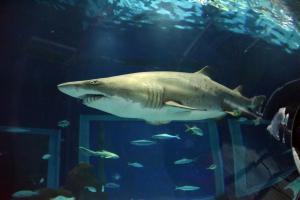 AquaRio realiza a terceira edição da Shark Week