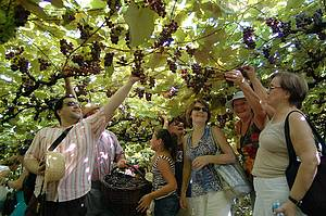 Vindima: Para participar da festa da colheita, v� no ver�o<br>