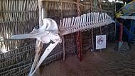 Esqueleto de um filhote de Baleia Jubarte